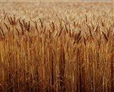 Field of Wheat, France Art Print
