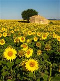 France, Provence, Old Farm House In Field Of Sunflowers Art Print