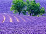 France, Provence, Lavender Field On The Valensole Plateau Art Print