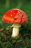 UK, Fly Agaric mushroom fungi Art Print
