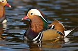 UK, Mandarin Duck wildlife Art Print