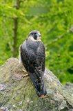 Wildlife, Peregrine Falcon Bird on Rock Art Print