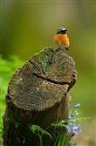 Redstart bird, Forest of Dean, Gloucestershire, UK Art Print