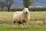 UK, England, Cotswold Sheep farm animal Art Print