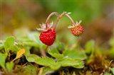 UK, England, Strawberry fruit, garden Art Print