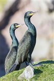 European Shag Or Common Shag On The Shetland Islands In Scotland Art Print