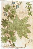 Aconitum Seventeenth-Century Engraving In Bibliotheca Pharmaceutica-Medica Art Print
