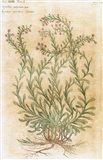 Ageratum Seventeenth-Century Engraving In Bibliotheca Pharmaceutica-Medica Art Print