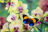 Brush-Footed Butterfly, Callithea Davisi On Orchid Art Print