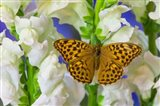 European Silver-Washed Fritillary Butterfly On Snapdragon Flower Art Print