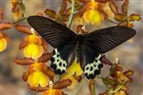 Priapus Batwing Swallowtail Butterfly From SE Asia Art Print