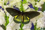 Belus Swallowtail Butterfly On White And Yellow Snapdragon Flower Art Print