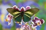 Crassus Swallowtail Butterfly Art Print