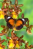 Leopard Lacewing Butterfly Art Print