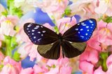 Butterfly The Striped Blue Crow Art Print