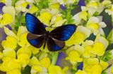 Blue Crow Butterfly Art Print