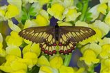 Butterfly Eurytides Corethus In The Papilionidae Family Art Print