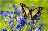 Glassy Bluebottle Butterfly Art Print
