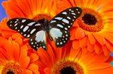 The Veined Swordtail Butterfly Art Print