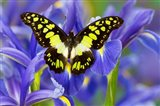 Electric Green Swallowtail Butterfly Art Print