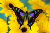 Purple Spotted Swallowtail Butterfly Art Print