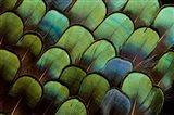 Pheasant Body Feather Fan Design Art Print