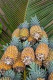 Kingdom Of Tonga, Vava'u Islands, Pineapples Art Print