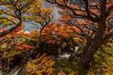 Argentina, Los Glaciares National Park Lenga Beech Trees In Fall Art Print