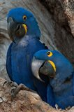 Brazil, Pantanal Wetlands, Hyacinth Macaw Mated Pair On Their Nest In A Tree Art Print