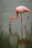 Greater Flamingo, Punta Moreno Isabela Island Galapagos Islands, Ecuador Art Print