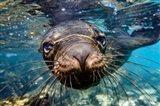 Galapagos Islands, Santa Fe Island Galapagos Sea Lion Swims In Close To The Camera Art Print
