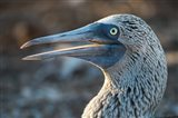 Galapagos Islands, North Seymour Island Blue-Footed Booby Portrait Art Print