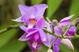 Wild Orchid, Cloud Forest, Upper Madre De Dios River, Peru Art Print