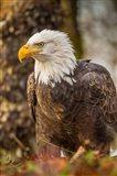 Alaska, Chilkat Bald Eagle Preserve Bald Eagle On Ground Art Print