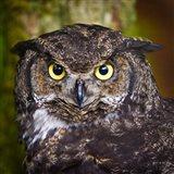 Alaska Raptor Center, Sitka, Alaska Close-Up Of A Great Horned Owl Art Print