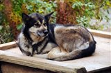 Alaskan Husky dog, Denali Park, Alaska, USA Art Print