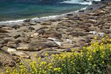 Northern Elephant Seals Sun Bathing In Cali Art Print