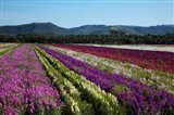 Santa Barbara Flower Fields, California Art Print