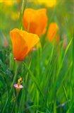 California Golden Poppies Art Print