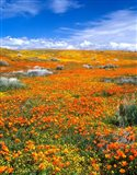 California Poppy Reserve Near Lancaster, California Art Print