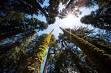 Upward View Of Trees In The Redwood National Park, California Art Print