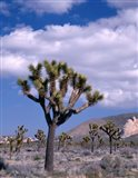 California, Joshua Tree NP, Near Hidden Valley Art Print