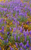 Californian Poppies And Lupine Art Print