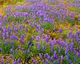 Carrizo Plain National Monument Lupine And Poppies Art Print