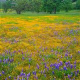 Lupine And Goldfields At Shell Creek Valley, California Art Print