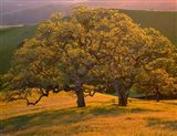 Sunset Soaked Oak Trees, California Art Print