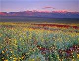 Desert Sunflower Landscape, Death Valley NP, California Art Print