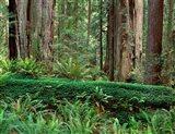 Prairie Creek Redwoods State Park, California Art Print