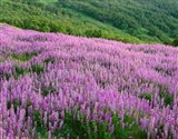 Lupine Meadow Landscape, Readwood Np, California Art Print
