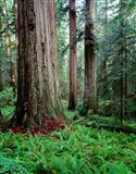 Prairie Creek Redwoods Sp, California Art Print